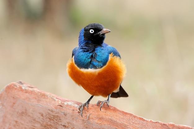 Kolorowy ptak wspaniały szpak siedzi na gałęzi
