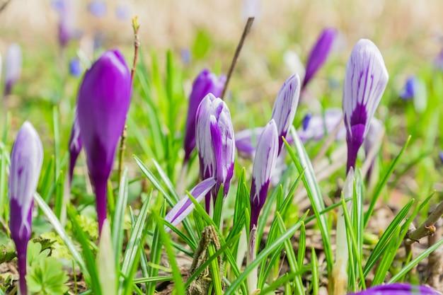 Kolorowy purpurowy krokus kwitnie kwitnienie na pogodnym wiosna dniu w ogródzie