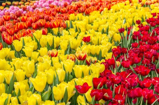 Kolorowy różnorodny tulipanu kwiatów ogród.