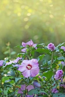 Kolorowy różowy kwitnienie hibiskusa. hibiskus różany z rozmytym miękkim światłem natury. zamyka w górę dzikich poślubników kwiatów