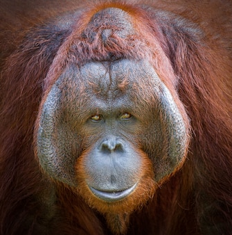 Kolorowy szczegół na twarzy pięknego orangutana.