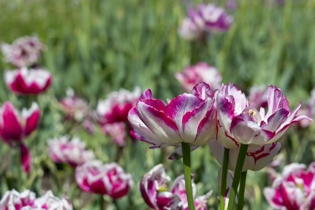 Kolorowy tulipan kwitnie na flowerbed w miasto parku.