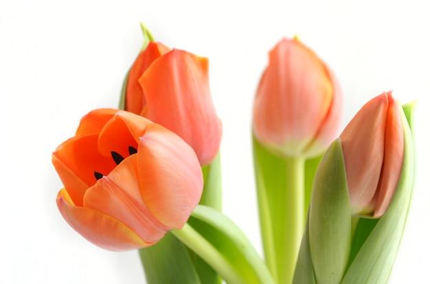 Kolorowy tulipan kwitnie tło
