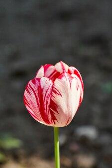 Kolorowy tulipan w ogrodzie