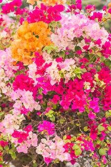 Kolorowy wystrój bougainvillea w ogrodzie