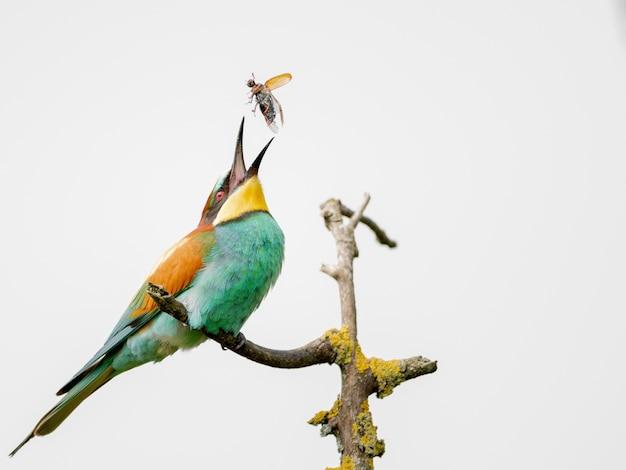 Kolorowy żołna próbuje zjeść latającego owada na gałęzi drzewa