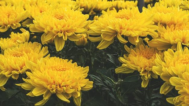Kolorowy żółty i pomarańczowy chryzantema kwiat kwitnie w gospodarstwie rolnym