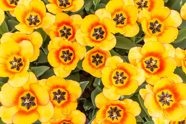 Kolorowych tulipanów świezi kwiaty przy rozmytym miękkim ostrości tła zakończeniem w górę bokeh