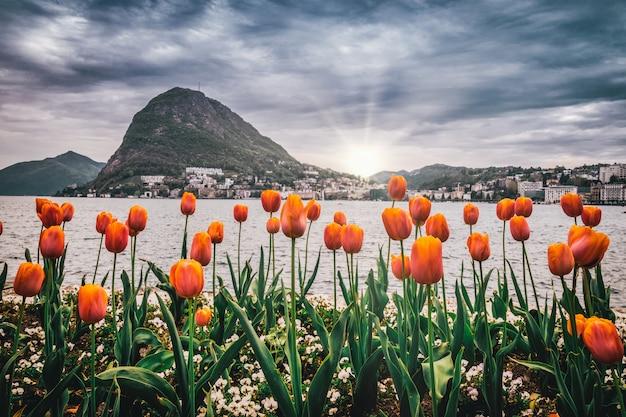 Kolory tulipana luganos