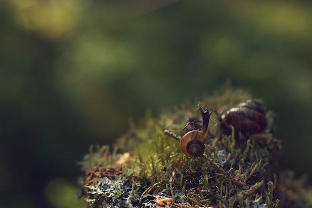 Komar usiadł na muszli ślimaka pełzającego po mchu w porannym lesie.