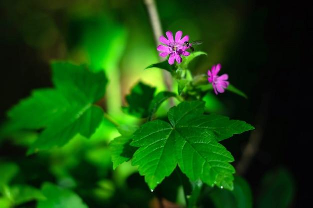 Komar zbiera wodę z różowego kwiatu wczesną wiosną.