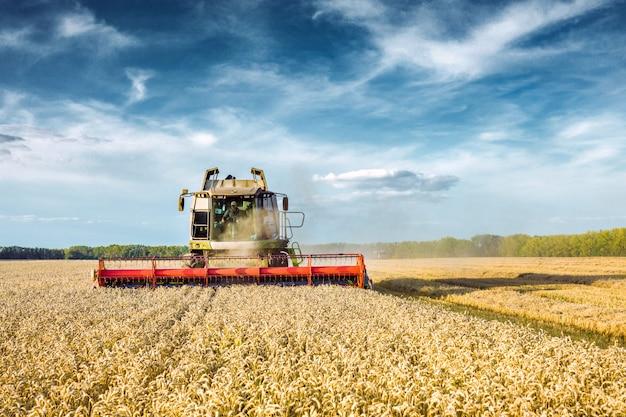 Kombajn zbożowy do zbioru dojrzałej pszenicy na polu