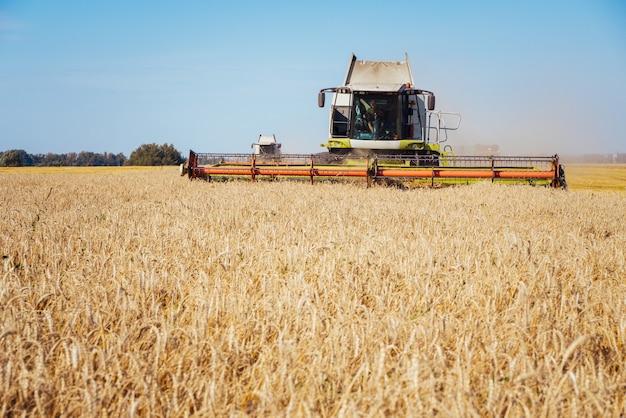 Kombajn zbożowy zbiera dojrzałą pszenicę. dojrzałe uszy złotego pola. koncepcja bogatych zbiorów. obraz rolnictwa.