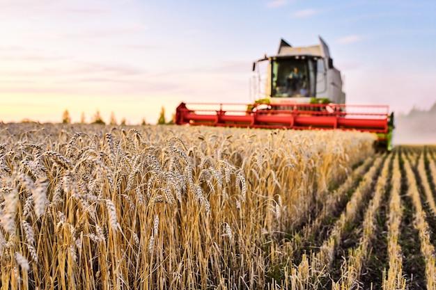 Kombajn zbożowy zbiera dojrzałą pszenicę. dojrzałe uszy złotego pola na zachmurzone niebo pomarańczowy zachód słońca. koncepcja bogatych zbiorów. obraz rolnictwa