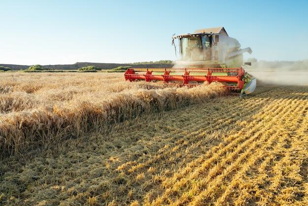 Kombajn zbożowy zbiera dojrzałą pszenicę o bogatym obrazie rolnictwa