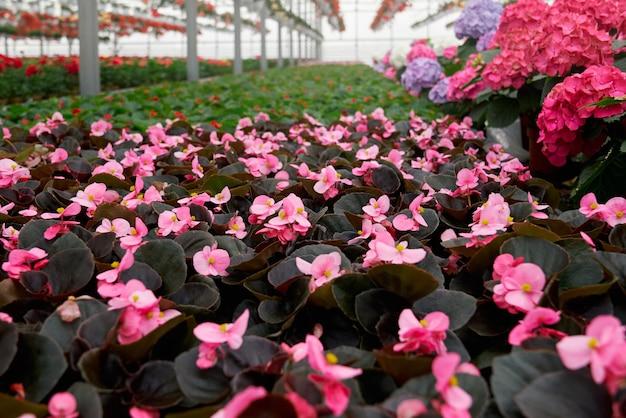 Komercyjna uprawa kwiatów w szklarni