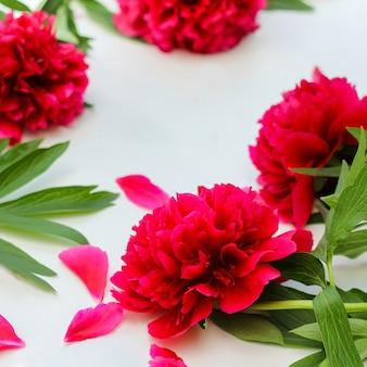 Kompozycja kwiatów czerwone peonie kwitną na białym tle.