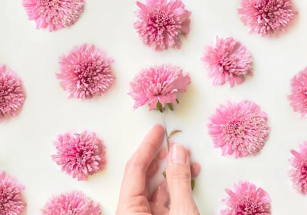 Kompozycja kwiatowa koncepcja urody i pielęgnacji, ręka kobiety w mleku i otoczona różowym asterem