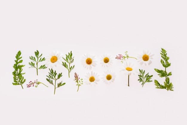 Kompozycja leżąca płasko z ziołami i rumiankami na białym tle