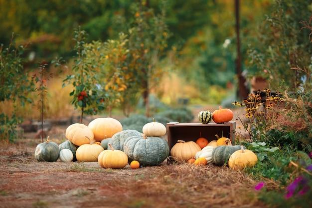 Kompozycja z dyni na drewnianej ławce, wiele różnych kolorowych dyni na ziemi, trawnik. oryginalne zdjęcie, światło dzienne, przestrzeń zewnętrzna i przestrzeń kosmiczna