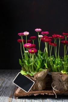 Kompozycja z pierwszych kwiatów stokrotki do sadzenia i narzędzi ogrodniczych