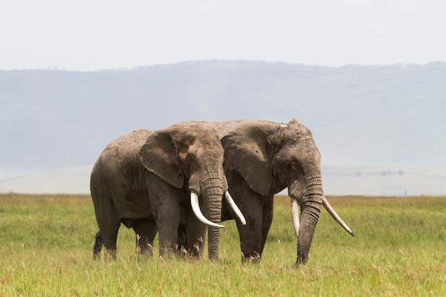 Komunikują się dwa słonie. krater ngorongoro, tanzania