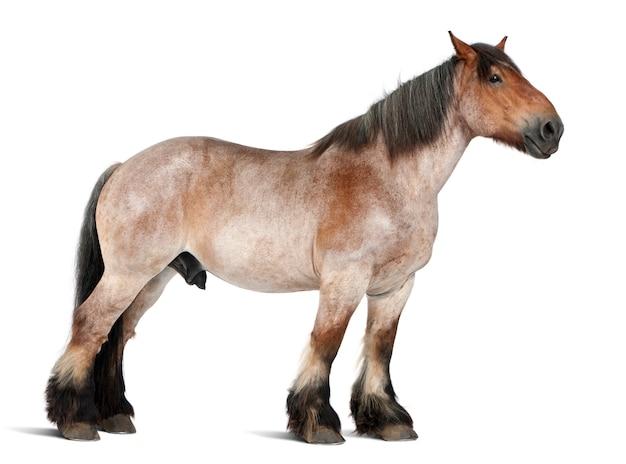 Koń belgijski, belgijski koń ciężki, brabancon, rasa koni pociągowych, 16 lat, stojący na białym na białym tle