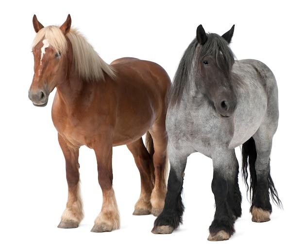 Koń belgijski, koń belgijski ciężki, brabancon, rasa koni pociągowych, stojący na białym na białym tle