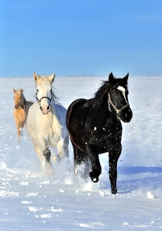 Koń biegnie galopem na zimowym polu