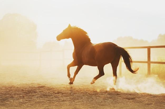 Koń biegnie w pili pod zachód słońca. siła konia w galopie.