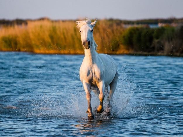 Koń camargue pięknie biegnie po wodzie w lagunie