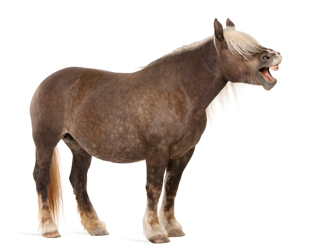 Koń comtois, koń pociągowy, equus caballus stojący biały jon na białym tle