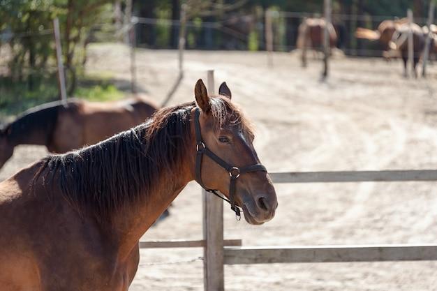 Koń gniady stojący przy drewnianym płocie na farmie