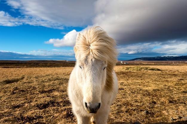 Koń islandzki. biały koń.