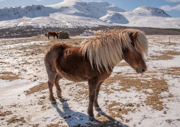 Koń islandzki na ranczu otoczonym wzgórzami pokrytymi śniegiem pod słońcem