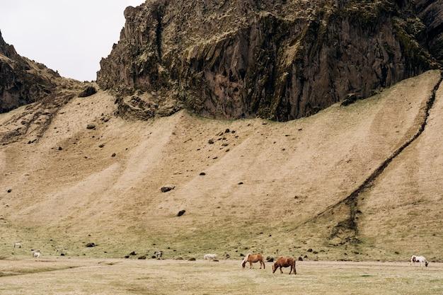 Koń islandzki to rasa koni hodowanych w islandii, brązowe i białe konie pasą się na polu