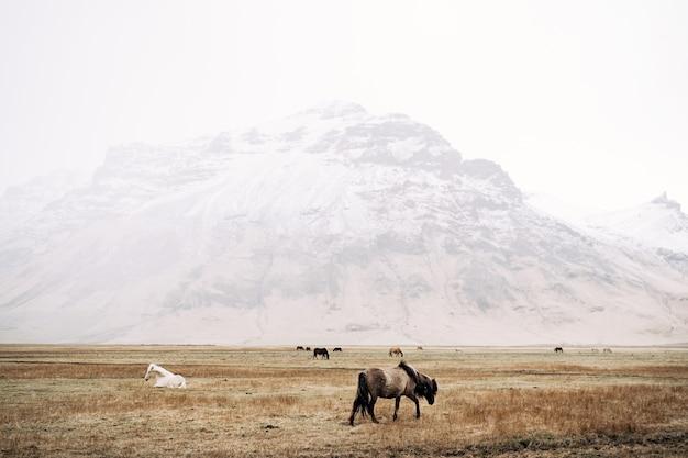Koń islandzki to rasa koni hodowanych w islandii, konie pasą się na tle śnieżycy