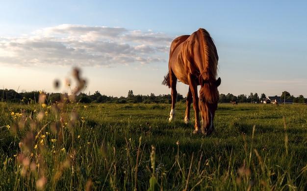 Koń jedzący trawę na polach