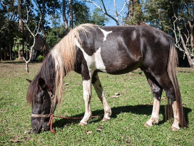 Koń jedzący trawę