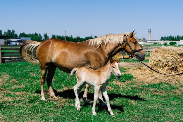 Koń klacz i jej bardzo małe źrebię na farmie