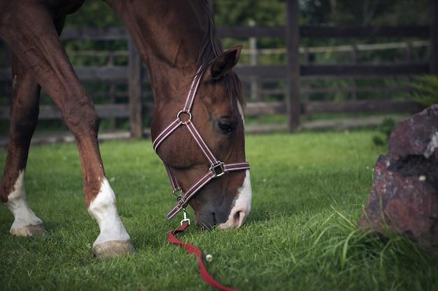Koń laurowy zjada trawę. kaganiec z bliska