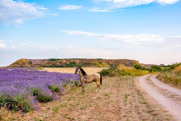 Koń patrząc na pole lawendy