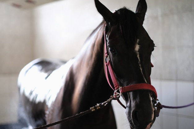 Koń pełnej krwi angielskiej na ogłowiu stojący w stajni
