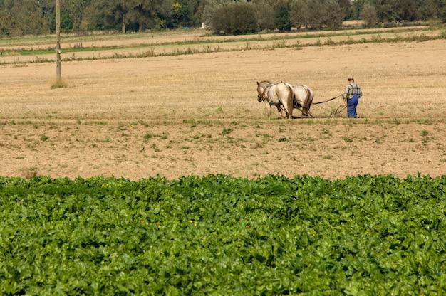 Koń pracuje w polu