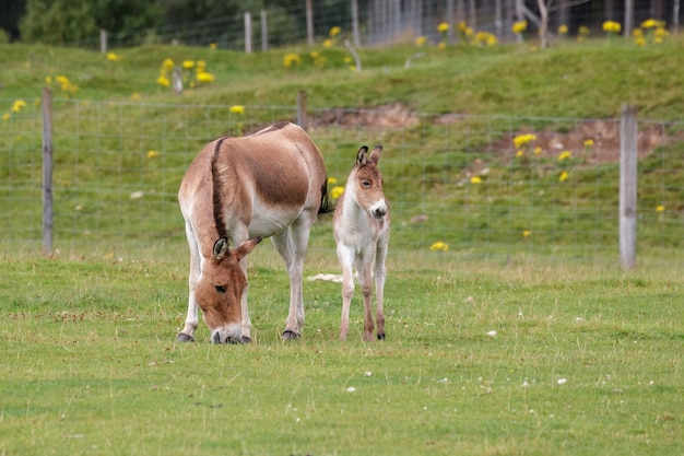 Koń przewalski (equus ferus przewalskii) i źrebię