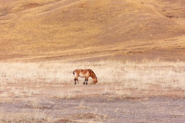 Koń przewalskiego w khustain nuruu park narodowy mongolia podczas zachodu słońca