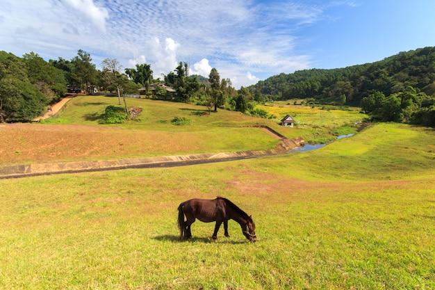 Koń przy ssanie w żołądku jeziorem, sosnowym lasu parkiem i światło słoneczne dniem, mae hong syn, północ tajlandia