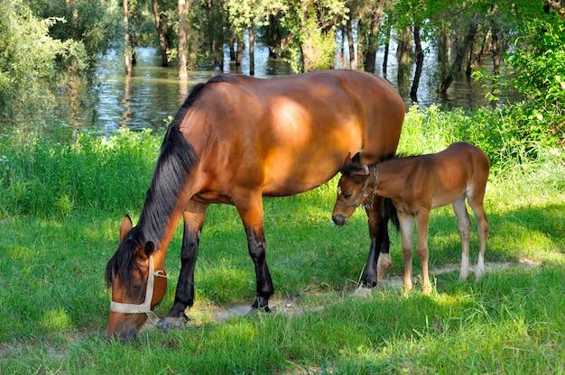 Koń ze źrebięciem pasącym się na łące