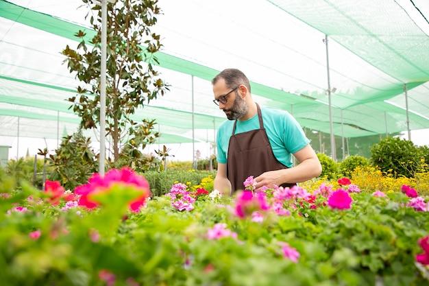 Koncentruje się mężczyzna pracujący z kwiatami w doniczkach w szklarni
