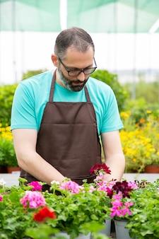 Koncentruje się ogrodnik mężczyzna pracujący z pelargoniami w szklarni